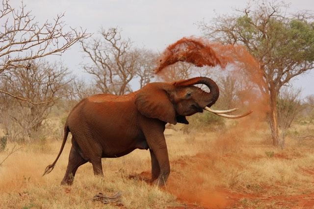elephant-africa-african-elephant-kenya-70080